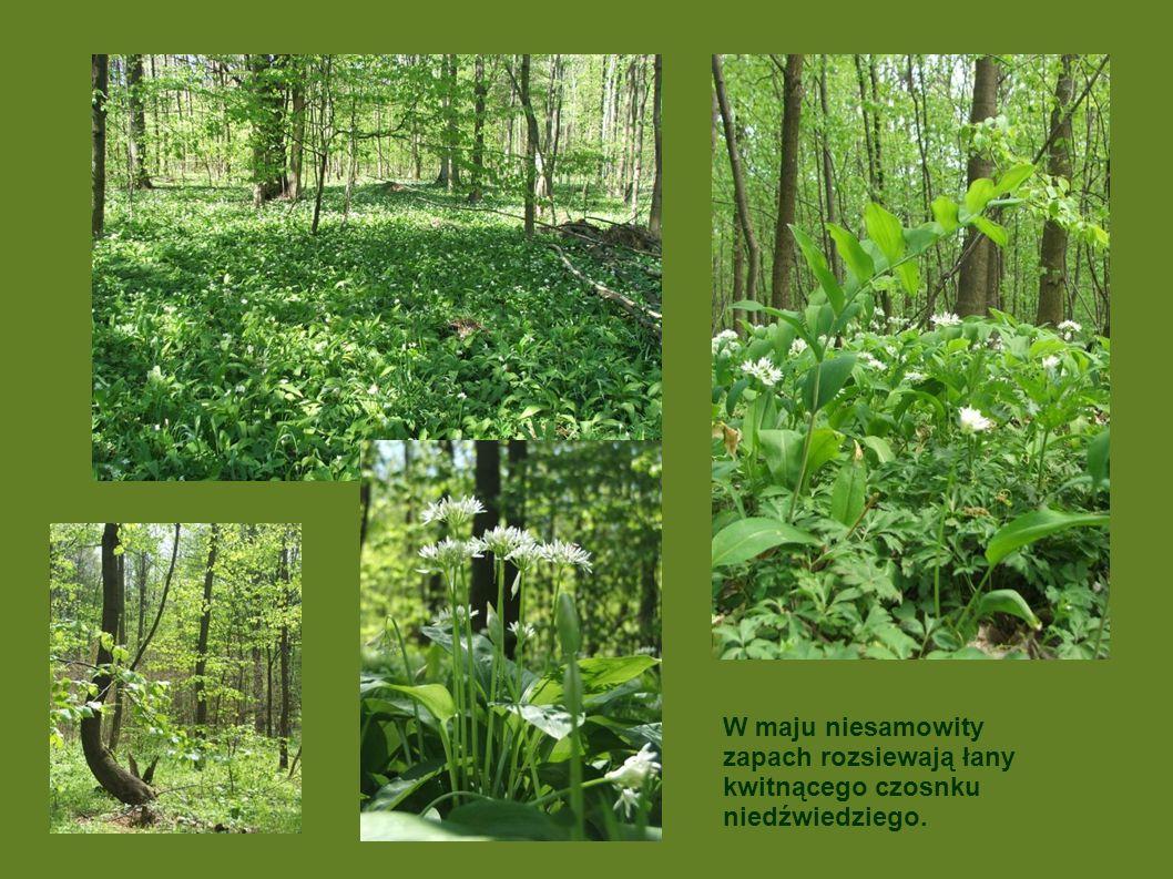 W maju niesamowity zapach rozsiewają łany kwitnącego czosnku niedźwiedziego.