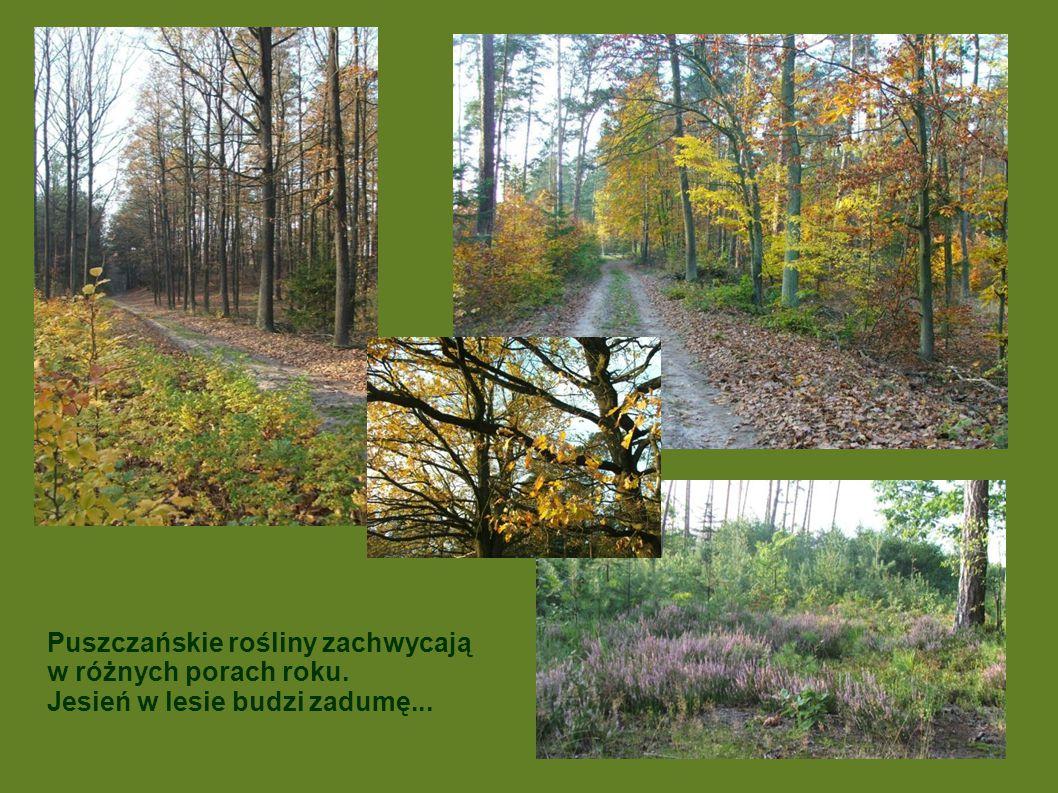 Puszczańskie rośliny zachwycają w różnych porach roku. Jesień w lesie budzi zadumę...