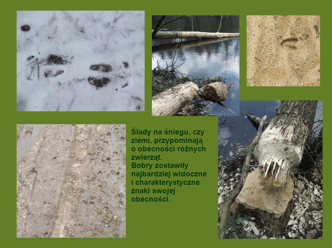 Ślady na śniegu, czy ziemi, przypominają o obecności różnych zwierząt. Bobry zostawiły najbardziej widoczne i charakterystyczne znaki swojej obecności