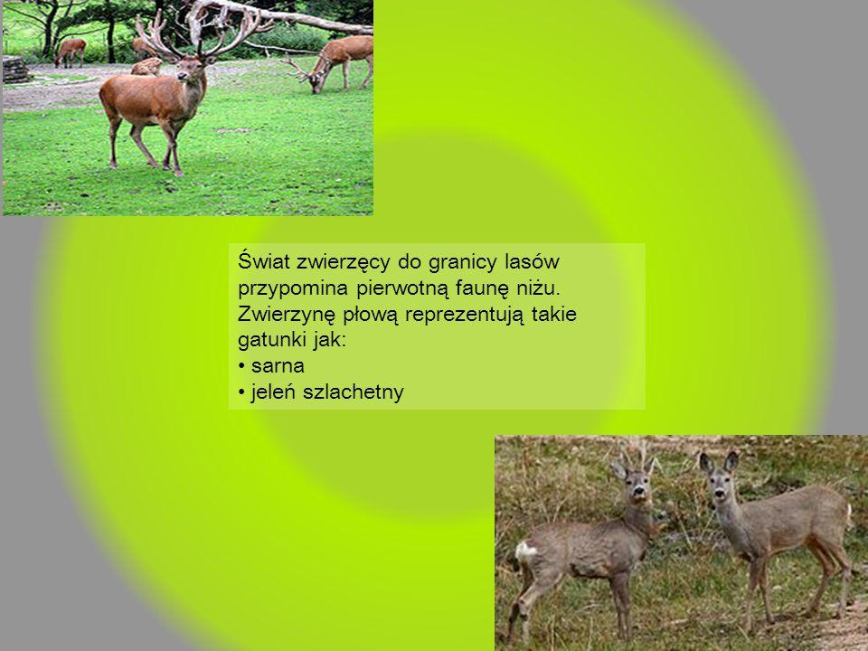Świat zwierzęcy do granicy lasów przypomina pierwotną faunę niżu. Zwierzynę płową reprezentują takie gatunki jak: sarna jeleń szlachetny