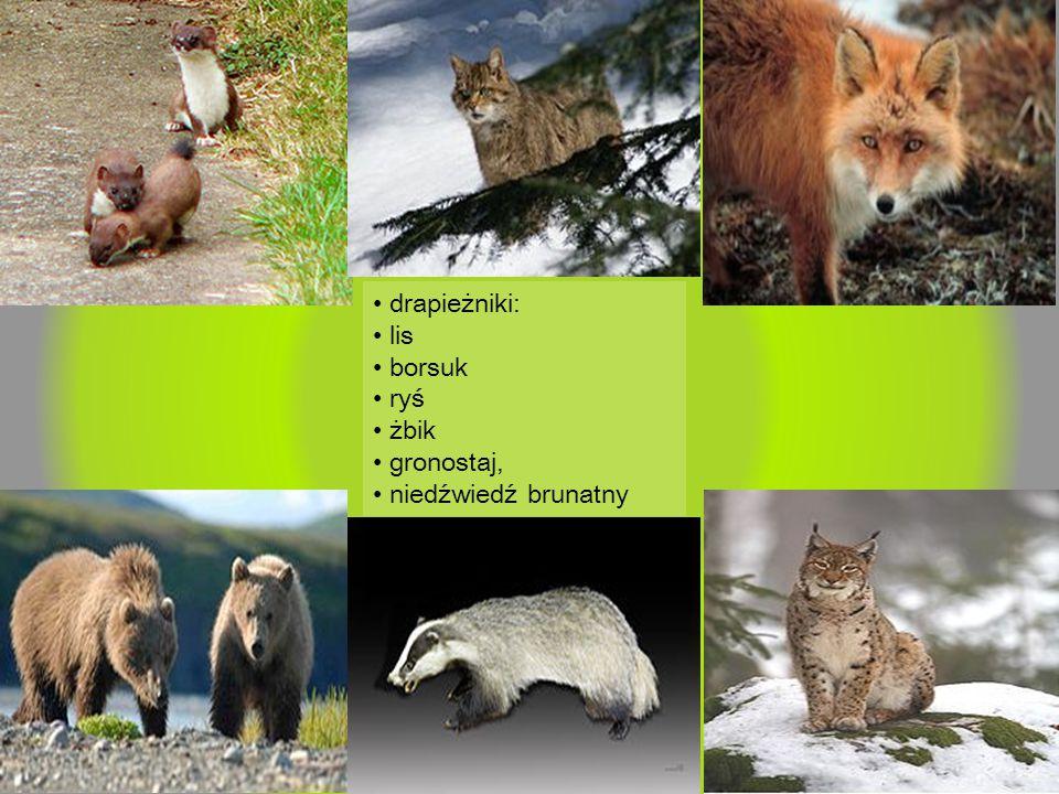 drapieżniki: lis borsuk ryś żbik gronostaj, niedźwiedź brunatny