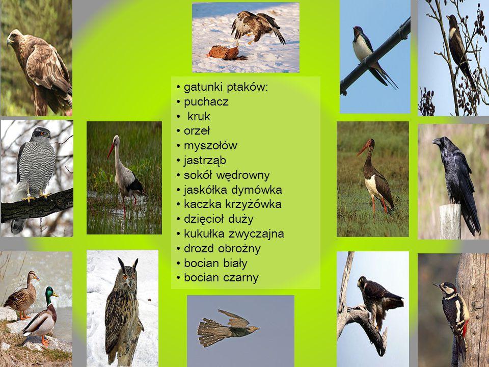 gatunki ptaków: puchacz kruk orzeł myszołów jastrząb sokół wędrowny jaskółka dymówka kaczka krzyżówka dzięcioł duży kukułka zwyczajna drozd obrożny bo