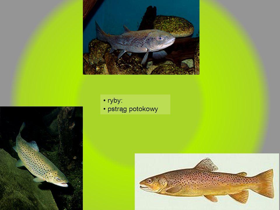 ryby: pstrąg potokowy