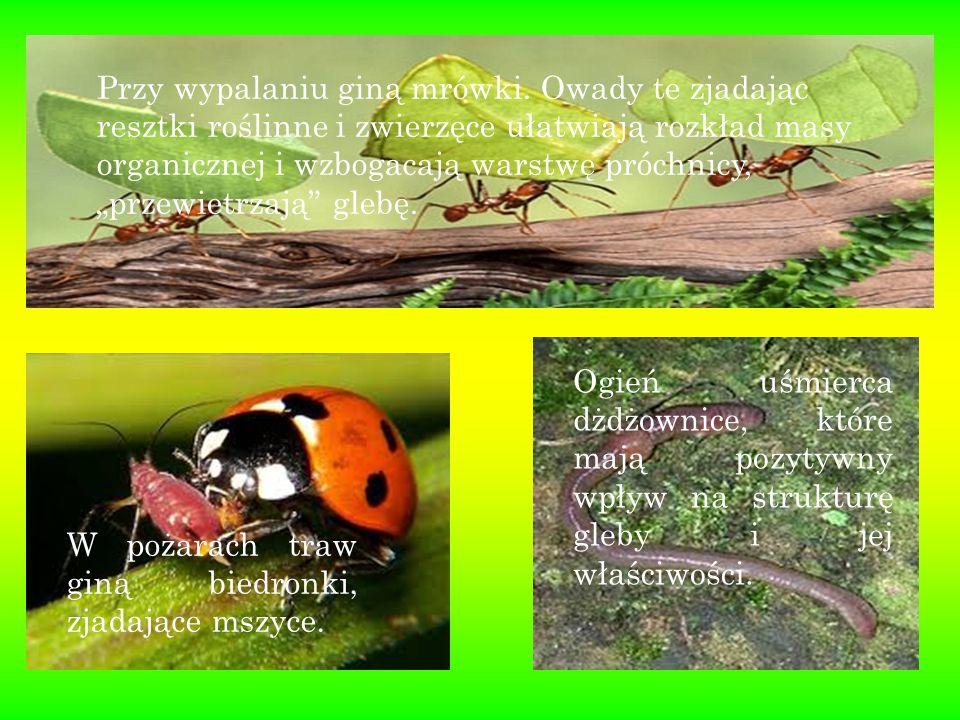 """Przy wypalaniu giną mrówki. Owady te zjadając resztki roślinne i zwierzęce ułatwiają rozkład masy organicznej i wzbogacają warstwę próchnicy, """"przewie"""