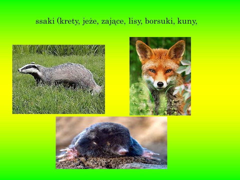 ssaki (krety, jeże, zające, lisy, borsuki, kuny,