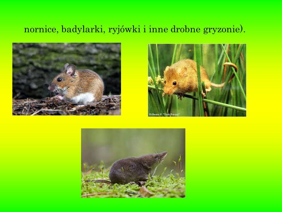 nornice, badylarki, ryjówki i inne drobne gryzonie).