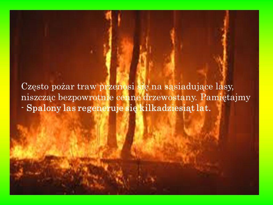 Często pożar traw przenosi się na sąsiadujące lasy, niszcząc bezpowrotnie cenne drzewostany. Pamiętajmy - Spalony las regeneruje się kilkadziesiąt lat