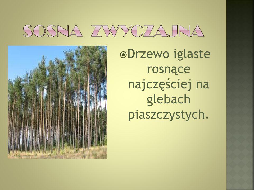  Drzewo iglaste rosnące najczęściej na glebach piaszczystych.