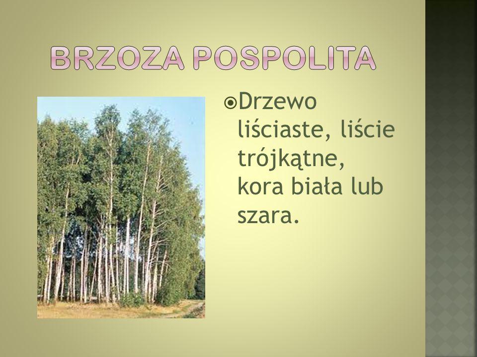  Drzewo liściaste, liście trójkątne, kora biała lub szara.