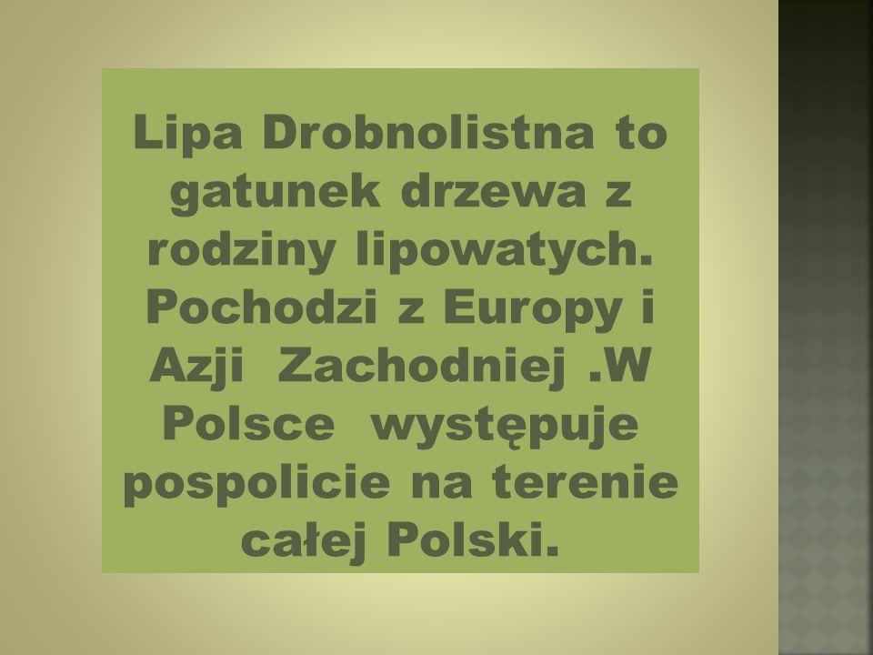Lipa Drobnolistna to gatunek drzewa z rodziny lipowatych.