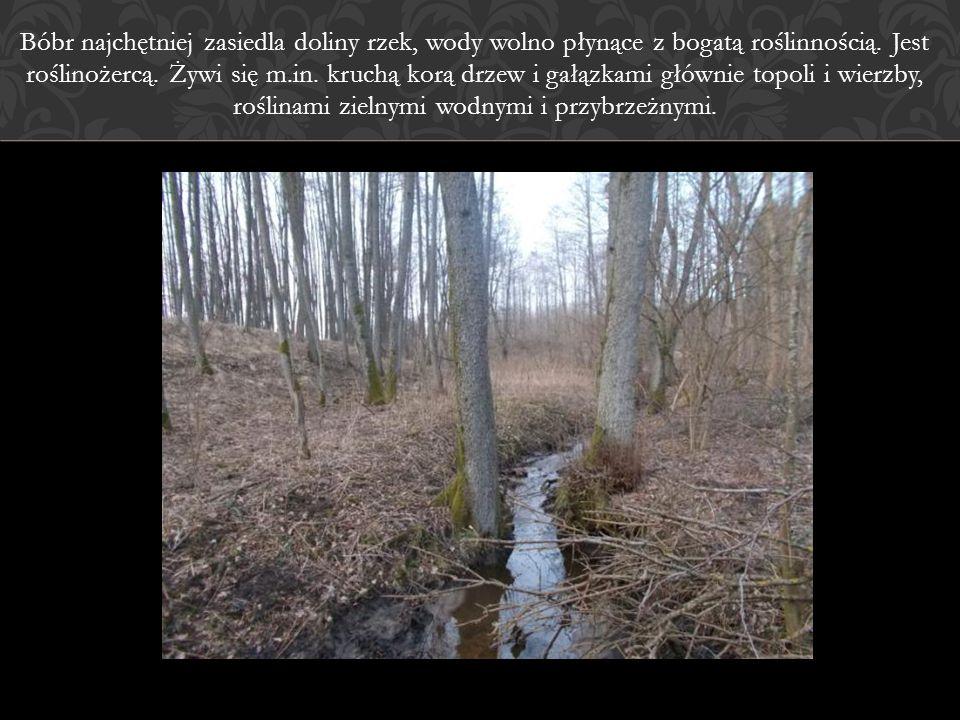Bóbr najchętniej zasiedla doliny rzek, wody wolno płynące z bogatą roślinnością. Jest roślinożercą. Żywi się m.in. kruchą korą drzew i gałązkami główn