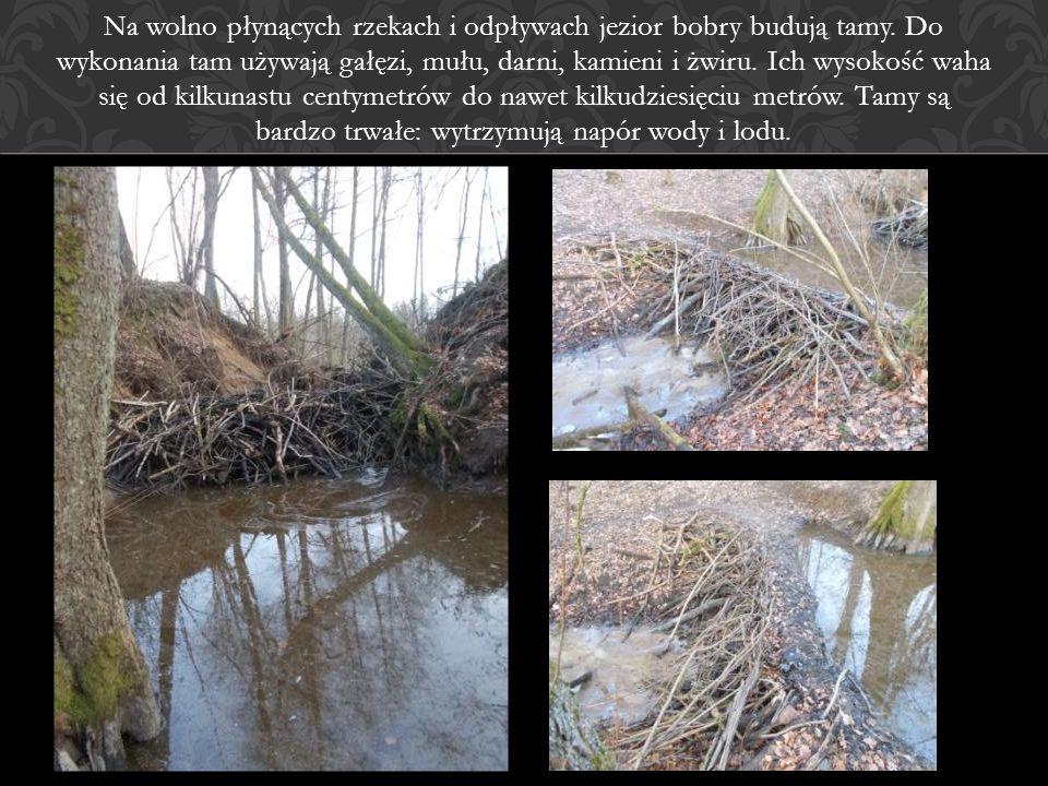 Na wolno płynących rzekach i odpływach jezior bobry budują tamy. Do wykonania tam używają gałęzi, mułu, darni, kamieni i żwiru. Ich wysokość waha się
