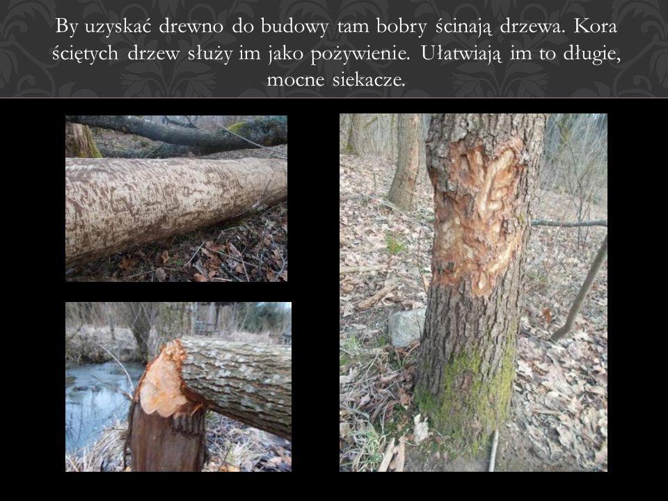 By uzyskać drewno do budowy tam bobry ścinają drzewa. Kora ściętych drzew służy im jako pożywienie. Ułatwiają im to długie, mocne siekacze.