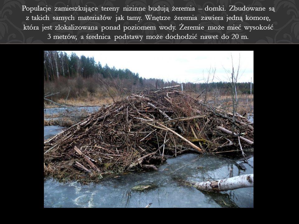 Populacje zamieszkujące tereny nizinne budują żeremia – domki. Zbudowane są z takich samych materiałów jak tamy. Wnętrze żeremia zawiera jedną komorę,