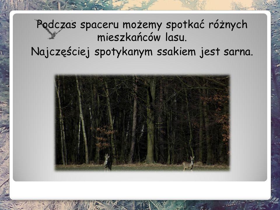 Podczas spaceru możemy spotkać różnych mieszkańców lasu. Najczęściej spotykanym ssakiem jest sarna.