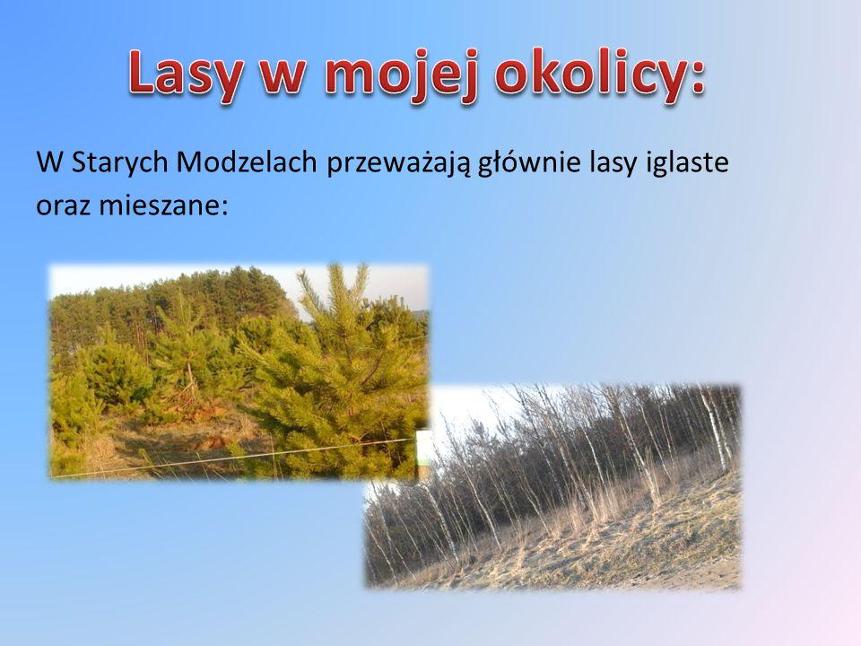 W Starych Modzelach przeważają głównie lasy iglaste oraz mieszane:
