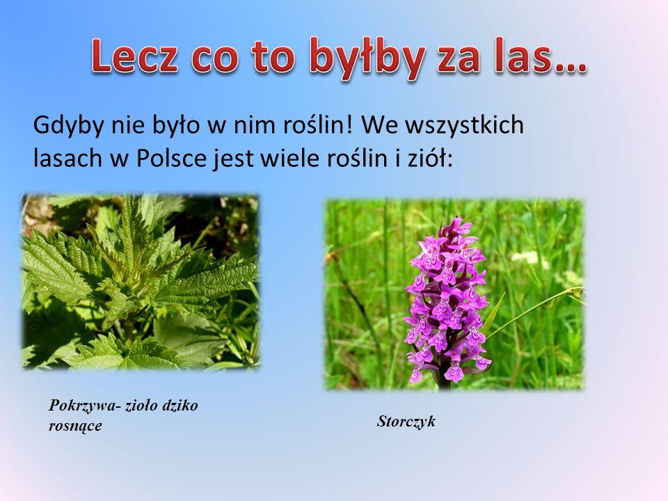 Gdyby nie było w nim roślin! We wszystkich lasach w Polsce jest wiele roślin i ziół: Pokrzywa- zioło dziko rosnące Storczyk