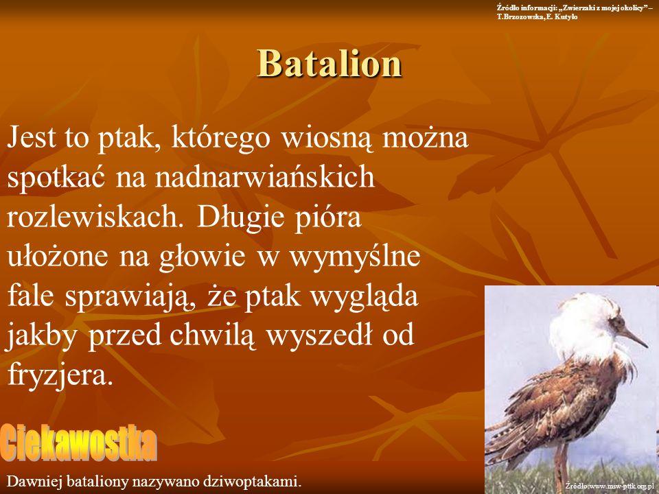 Batalion Jest to ptak, którego wiosną można spotkać na nadnarwiańskich rozlewiskach. Długie pióra ułożone na głowie w wymyślne fale sprawiają, że ptak