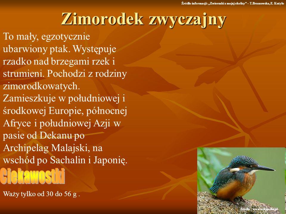 Zimorodek zwyczajny To mały, egzotycznie ubarwiony ptak. Występuje rzadko nad brzegami rzek i strumieni. Pochodzi z rodziny zimorodkowatych. Zamieszku