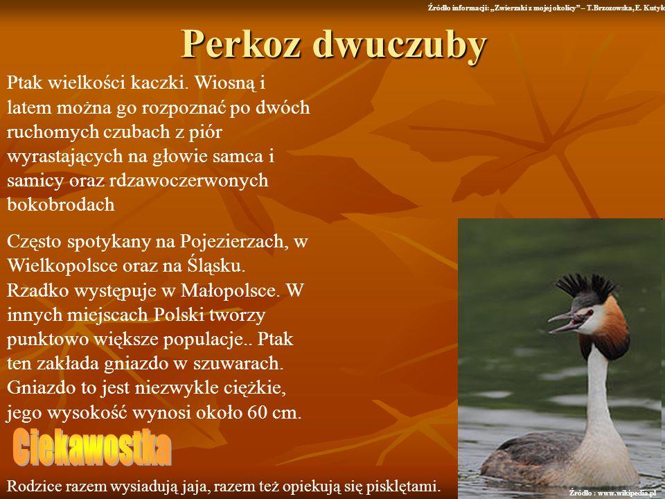Perkoz dwuczuby Ptak wielkości kaczki. Wiosną i latem można go rozpoznać po dwóch ruchomych czubach z piór wyrastających na głowie samca i samicy oraz