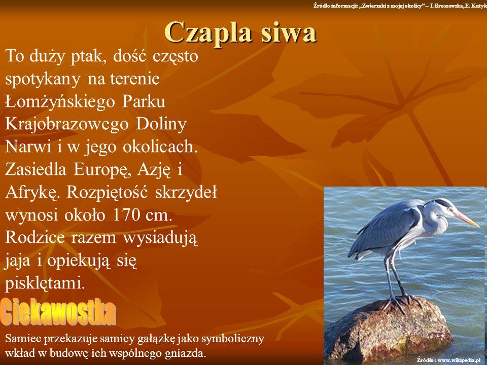 Czapla siwa To duży ptak, dość często spotykany na terenie Łomżyńskiego Parku Krajobrazowego Doliny Narwi i w jego okolicach. Zasiedla Europę, Azję i
