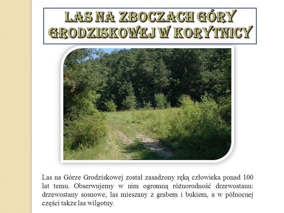 Las na Górze Grodziskowej został zasadzony ręką człowieka ponad 100 lat temu. Obserwujemy w nim ogromną różnorodność drzewostanu: drzewostany sosnowe,