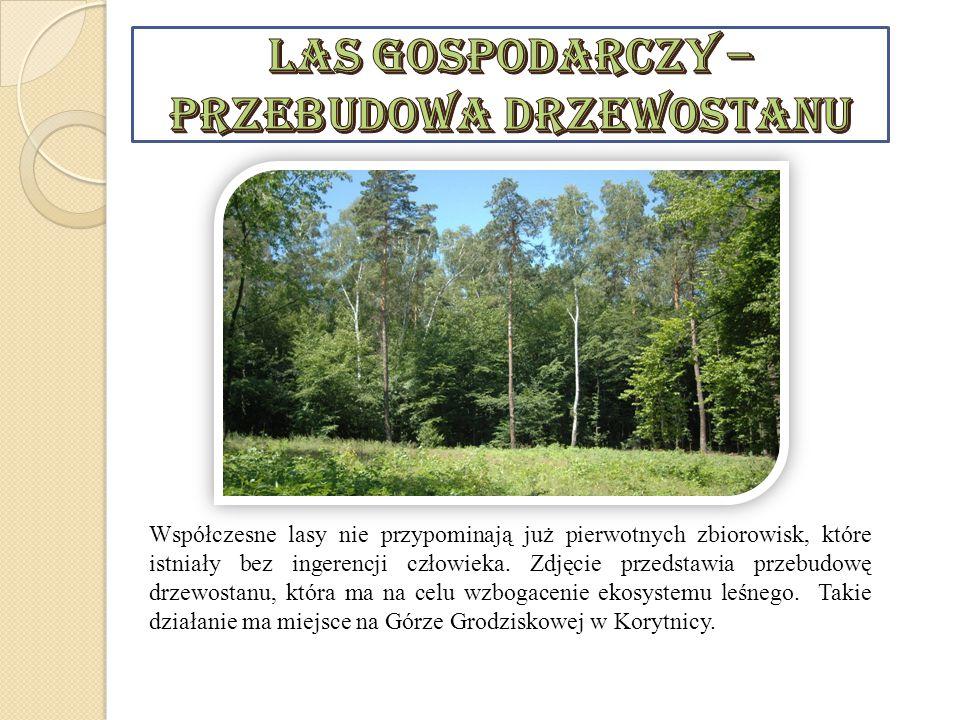 Na południe od Korytnicy w kierunku Rębowa znajduje się las modrzewiowy.