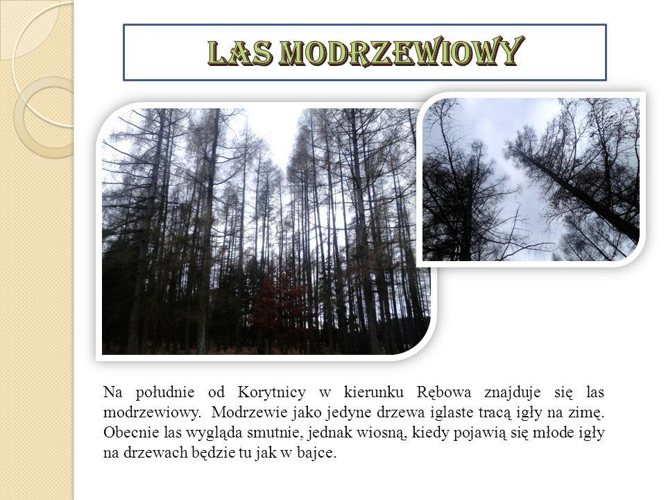 Na południe od Korytnicy w kierunku Rębowa znajduje się las modrzewiowy. Modrzewie jako jedyne drzewa iglaste tracą igły na zimę. Obecnie las wygląda