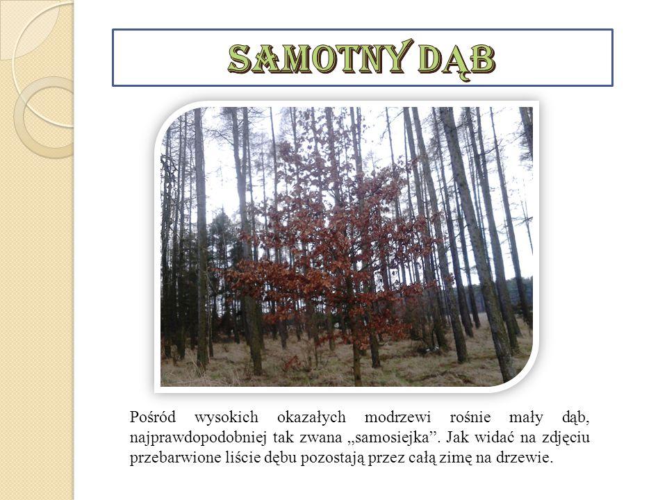 Bór sosnowy to widny wysokopienny las sosnowy najczęściej z domieszką brzóz.