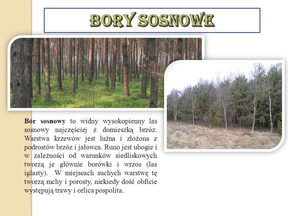 Bór sosnowy to widny wysokopienny las sosnowy najczęściej z domieszką brzóz. Warstwa krzewów jest luźna i złożona z podrostów brzóz i jałowca. Runo je