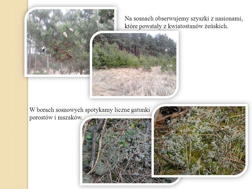 W borach sosnowych spotykamy liczne gatunki porostów i mszaków. Na sosnach obserwujemy szyszki z nasionami, które powstały z kwiatostanów żeńskich.