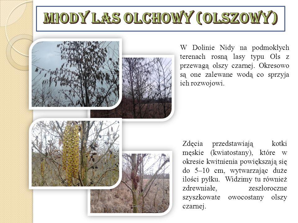 W Dolinie Nidy na podmokłych terenach rosną lasy typu Ols z przewagą olszy czarnej. Okresowo są one zalewane wodą co sprzyja ich rozwojowi. Zdęcia prz