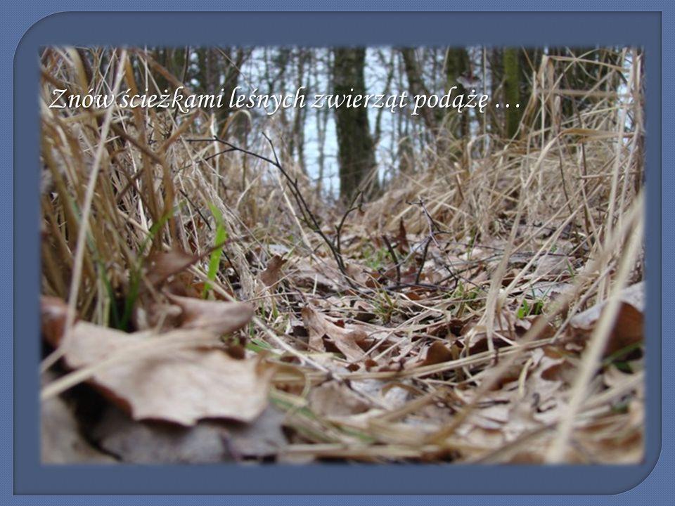 Znów ścieżkami leśnych zwierząt podążę …