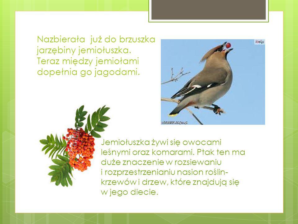Żuk leśny jest sprzymierzeńcem leśników.To pięknie połyskujący chrząszcz o kolorze granatowym.