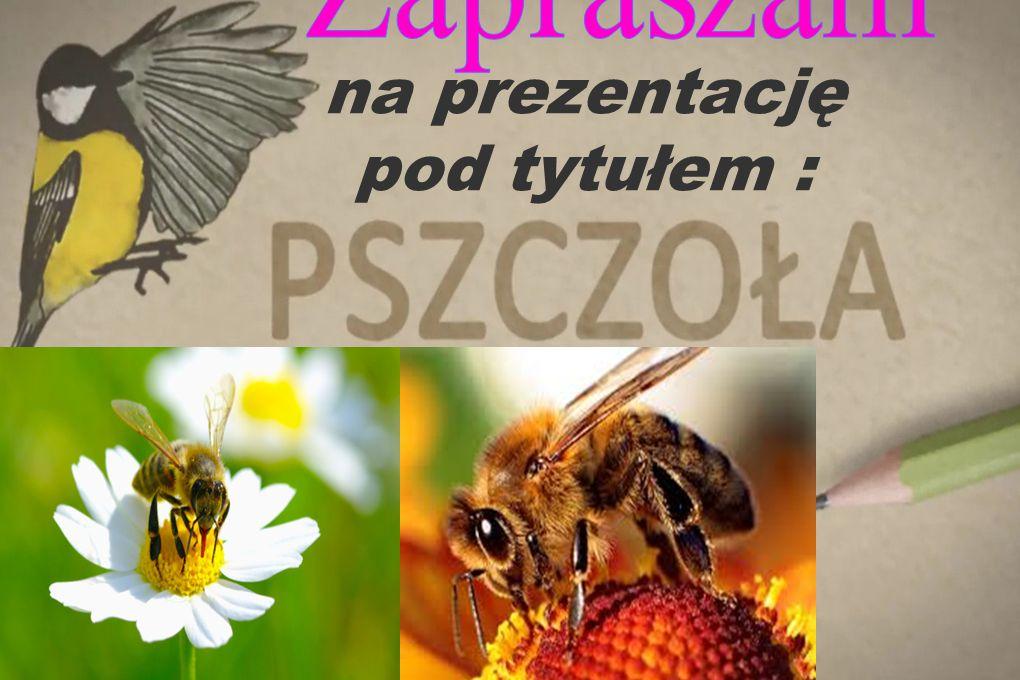 Pszczoła pobiera nektar do specjalnego zbiorniczka