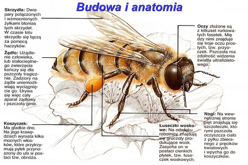 Rój pszczeli składa się z królowej- matki, robotnic oraz trutni.