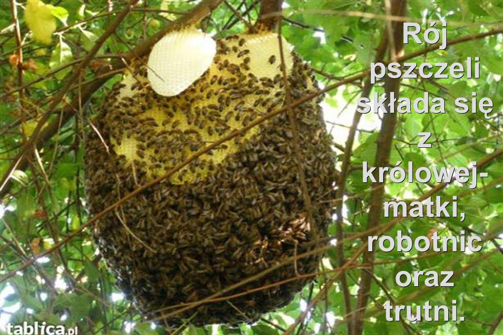 znacie takie powiedzonko : Ppracowita jak pszczoła ?