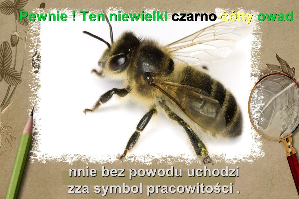 Pewnie ! Ten niewielki czarno-żółty owad nnie bez powodu uchodzi zza symbol pracowitości.