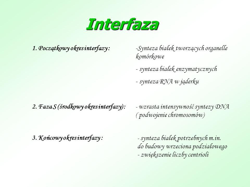 Interfaza -Synteza białek tworzących organelle komórkowe - synteza białek enzymatycznych - synteza RNA w jąderku 1. Początkowy okres interfazy : 2. Fa