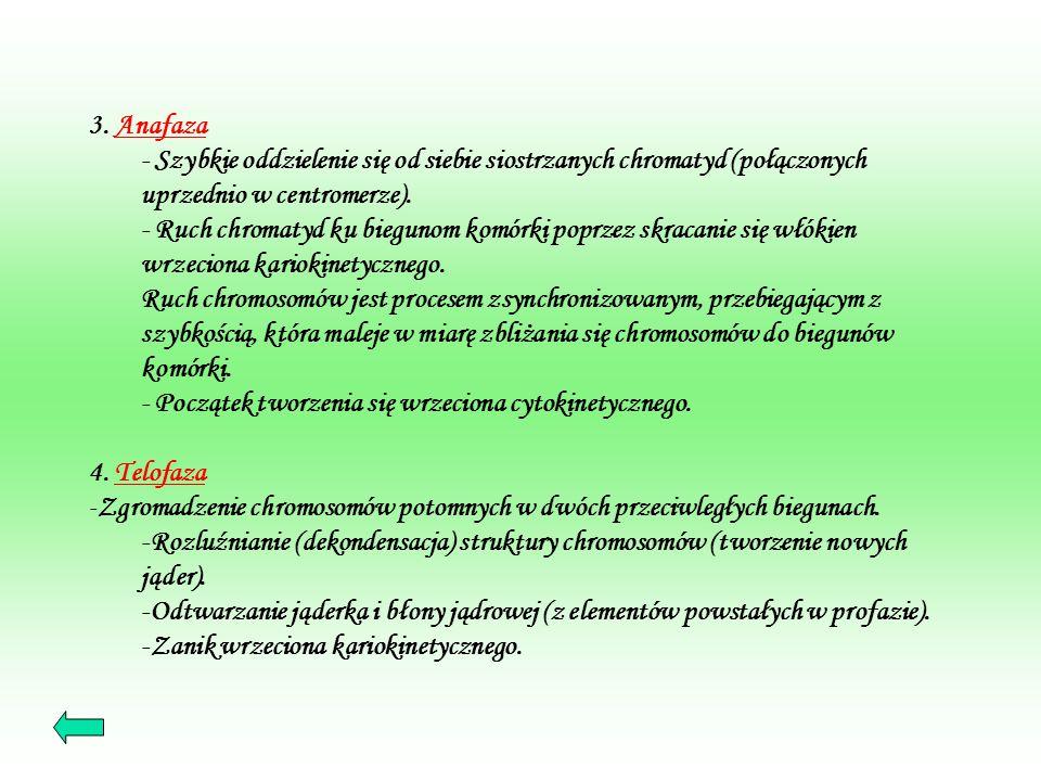 Cytokineza - Jest to podzial cytoplazmy, - rozpoczyna się już w telofazie, - polega na wytworzeniu przegrody dzielącej nowo powstałe komórki.
