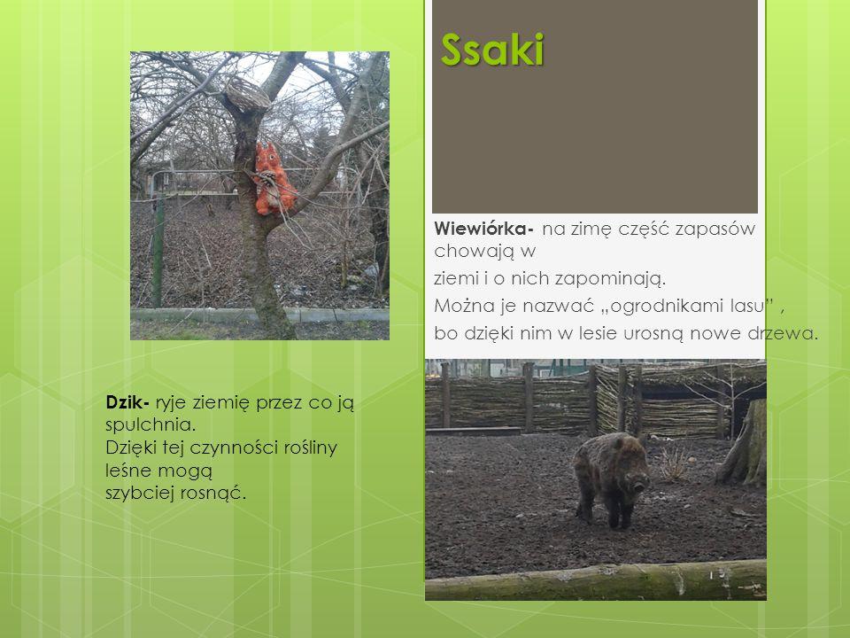 """Ssaki Wiewiórka- na zimę część zapasów chowają w ziemi i o nich zapominają. Można je nazwać """"ogrodnikami lasu"""", bo dzięki nim w lesie urosną nowe drze"""