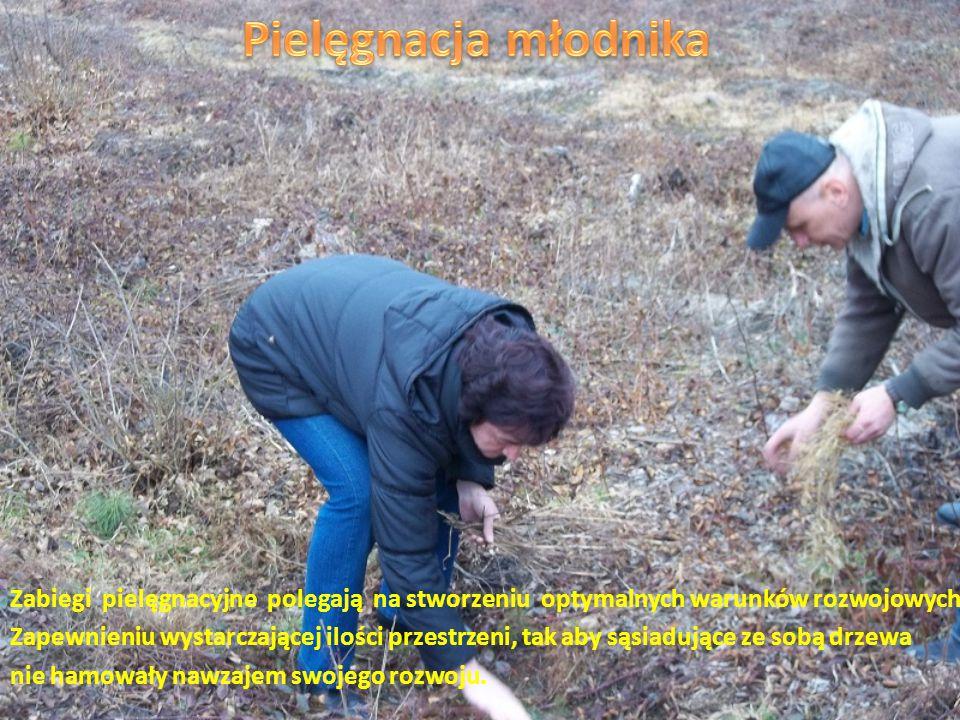 Las powstaje przez: - odnawianie - na miejscu starego wyciętego lasu sadzi się nowe sadzonki, - zalesianie - zakładanie lasu na gruntach nieleśnych np.