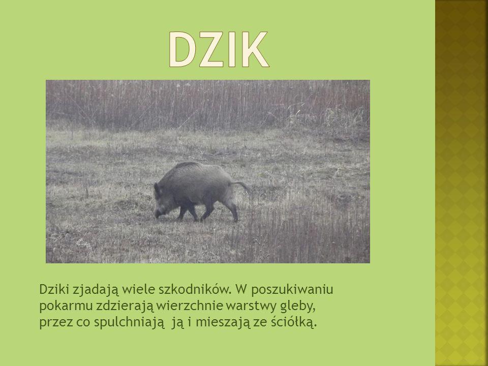 Dziki zjadają wiele szkodników. W poszukiwaniu pokarmu zdzierają wierzchnie warstwy gleby, przez co spulchniają ją i mieszają ze ściółką.