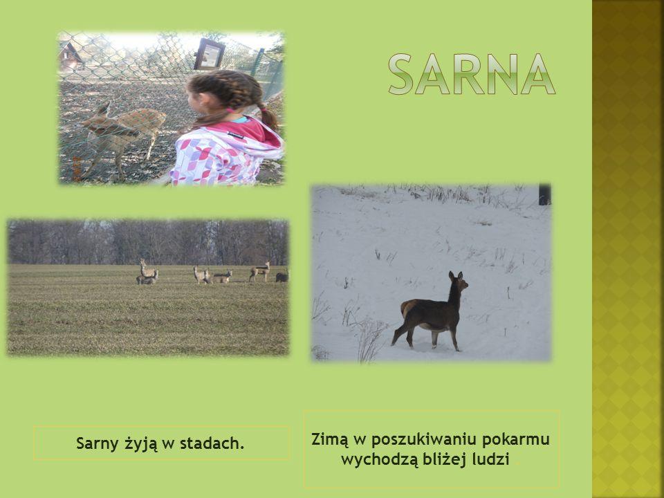 Sarny żyją w stadach. Zimą w poszukiwaniu pokarmu wychodzą bliżej ludzi.