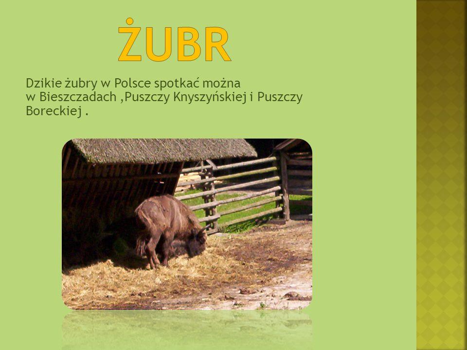 Dzikie żubry w Polsce spotkać można w Bieszczadach,Puszczy Knyszyńskiej i Puszczy Boreckiej.