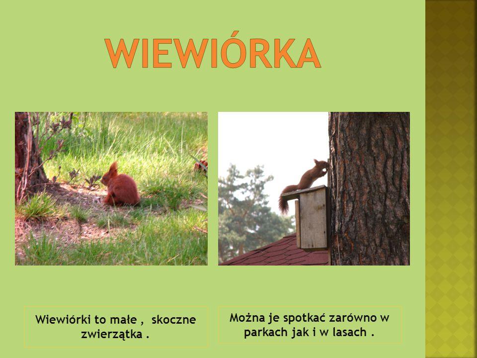 Wiewiórki to małe, skoczne zwierzątka. Można je spotkać zarówno w parkach jak i w lasach.