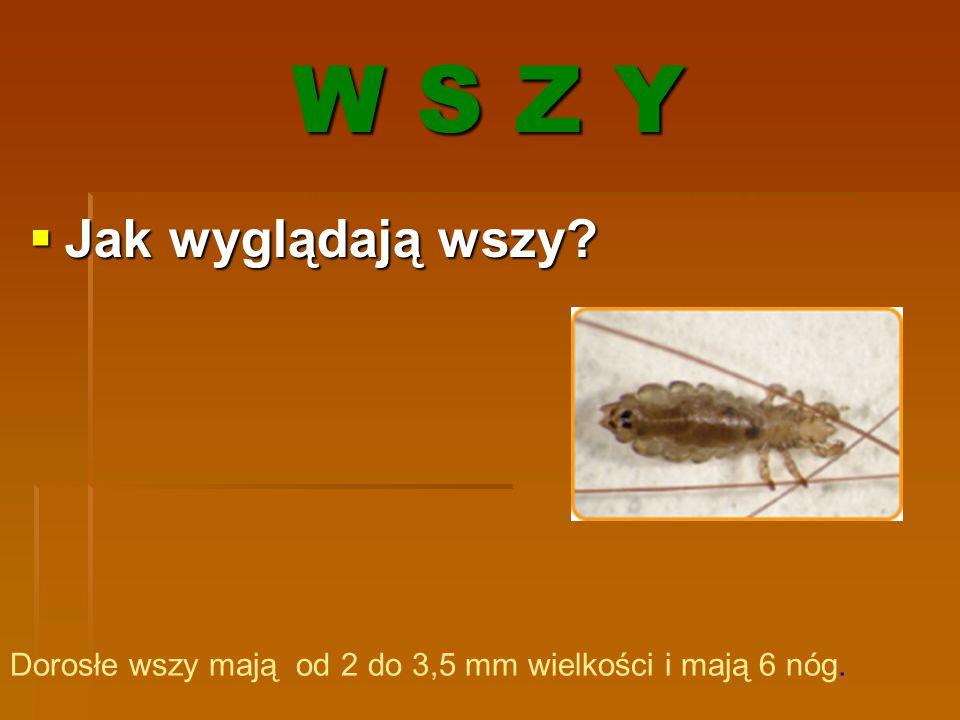 W S Z Y  Jak wyglądają wszy? Dorosłe wszy mają od 2 do 3,5 mm wielkości i mają 6 nóg.