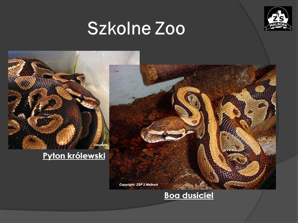 Szkolne Zoo Pyton królewski Boa dusiciel