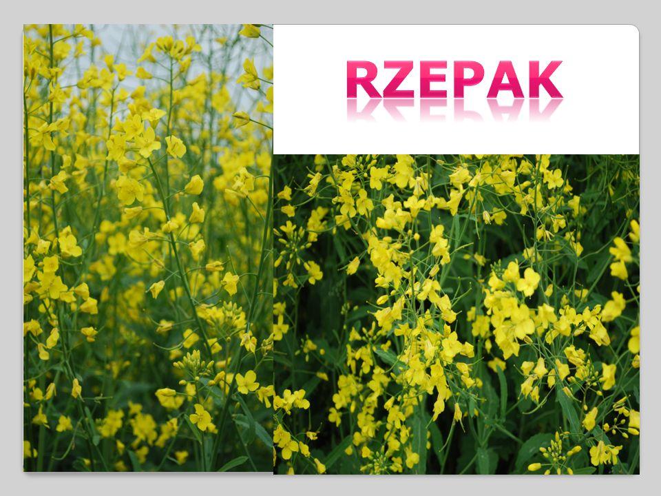 LILAK POSPOLITY – gatunek rośliny z rodziny oliwkowatych.