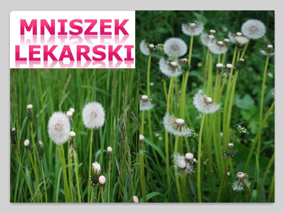 MNISZEK LEKARSKI- roślina trwała, rosnąca najczęściej na trawnikach, przydrożach i łąkach.